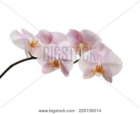 Pink orchid isolated on white background.