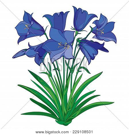 Vector Bouquet With Outline Blue Alpine Campanula Flower Or Bellflower Of Alps, Bud And Ornate Green