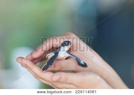 Koscoda, Sri Lanka, Asia - A Little Turtle In The Carful Hands Of A Woman