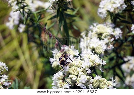 A Bee Gathers Nectar From A Narrowleaf Mountainmint (pycnanthemum Tenuifolium), Also Called Slender