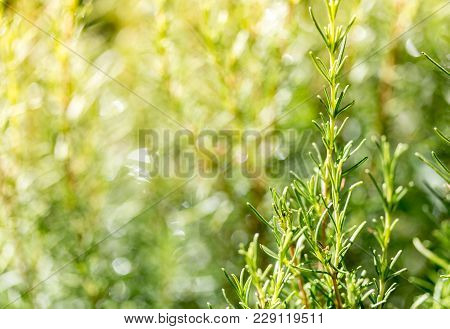 Rosemary Garden Bokeh Background. Rosemary In Sunny Day. Selective Focus, Copy Space. Natural Concep