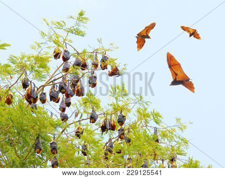 Group of a Flying Foxes flying over a Jardin de Pamplemousses, famous botanic garden on Mauritius Island.