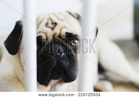 Guilty Dog, Pug Dog Behind The Bars Of A Protective Bar For Dogs.