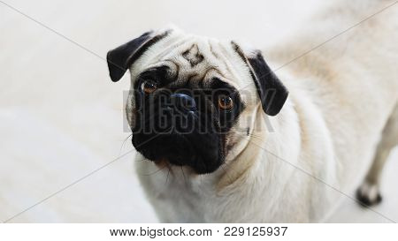 Isolated Pug Looking Forward With The Head Tilted To The Side.
