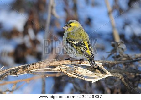Eurasian Siskin (spinus Spinus) Sits On A Broken Bush (against The Background Of Dry Grass).