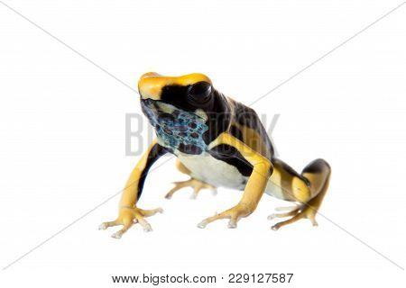 Regina Blue Dyeing Poison Dart Frogling, Dendrobates tinctorius, on white background. poster