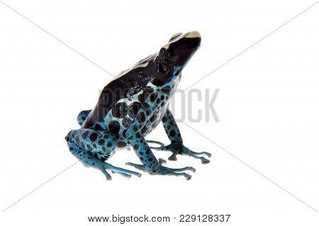 Awarape Blue Dyeing Poison Dart Frog, Dendrobates tinctorius, on white background. poster