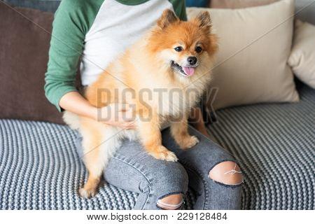 Closeup Portrait Of Pomeranian Spitz On Young Woman Lap On Sofa. Woman Is Unrecognizable. Pomeranian