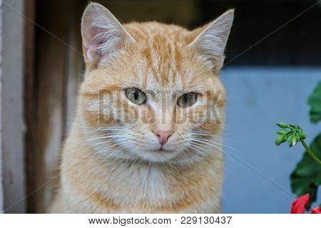 Beautiful Orange Tomcat Outdoor On A Farm In Germany