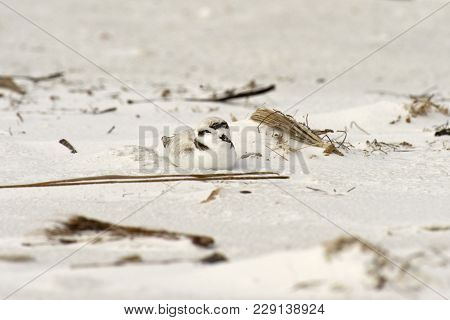 Snowy Plover Sitting On Sandy Beach In Florida, Usa.