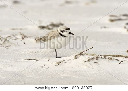 Snowy Plover Standing On Sandy Beach In Florida, Usa.