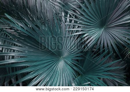 Close Up Big Green Palm Leafs On Tropical Country Shoot. Concept Of Summer Plants, Nature And Travel