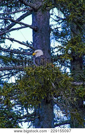 Single Eagle Among The Branches Of Tree In Alaska