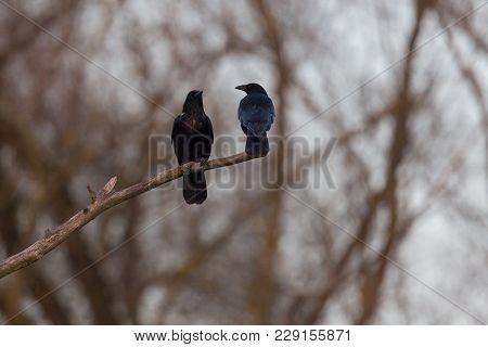 Two Black Carrion Crow Raven Birds (corvus Corone) Sitting On Branch