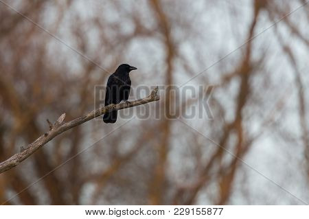 Natural Carrion Crow Raven (corvus Corone) Sitting On Branch In Forest