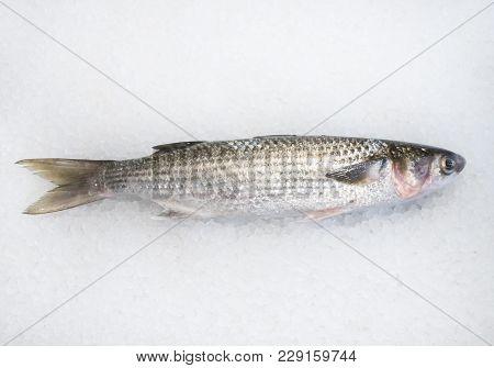 Common Grey Mullet Fish