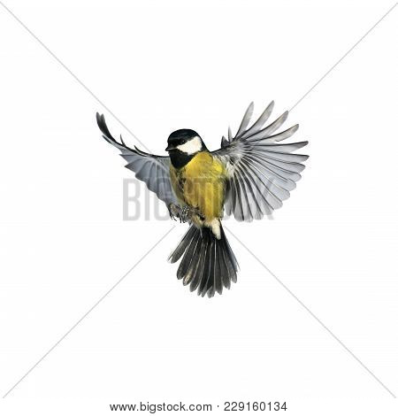 Portrait Of A Little Bird Tit Flying Wide Spread Wings And Flushing Feathers On White Isolated Backg