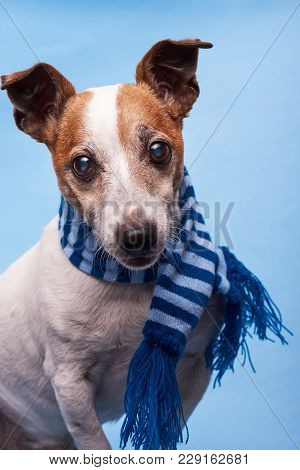 Face Of Jack Russell Terrier On Blue Background