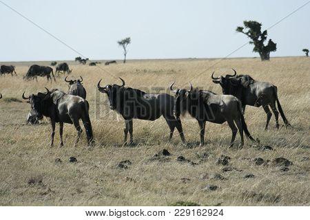 Blue Wildebeest Or Brindled Gnu(nyumbu) In Swahili Language.