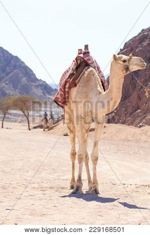 White Camel In The Middle Of Sinai Desert. Egypt