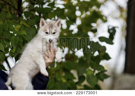 Cute Husky Puppy Sitting On His Arms Dangling His Paws. Age 3 Months
