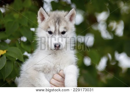 Portrait Of A Cute Fluffy Husky Puppy Sitting On His Arms Dangling His Paws. Age 3 Months
