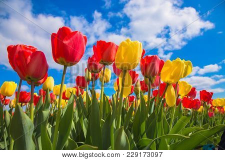 Spring Blooming Tulip Field. Flowers Tulips, The Symbol Of The Netherlands. Red Tulips And Blue Sky,