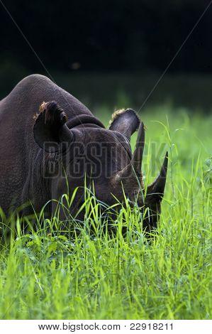 A black rhinoceros amidst lush green grass. poster