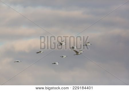 Group Of Natural Little Egrets (egretta Garzetta) Flying In Evening Sky With Clouds
