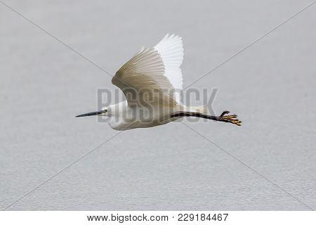 Portrait Natural Little Egret (egretta Garzetta) Flying Over Water Surface, Spread Wings