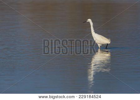 Mirrored Natural Little Egret (egretta Garzetta) Standing In Water In Sunlight