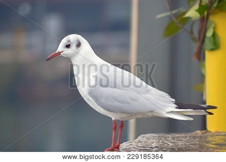 Closeup Of A Seagull Standing On A Small Pier In Ohrid