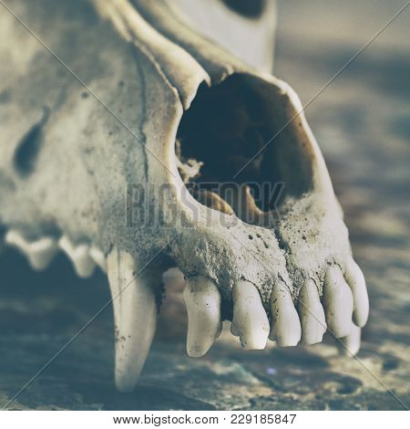Dog Scull Without Lower Jaw On Shabby Wooden Surface Close Up