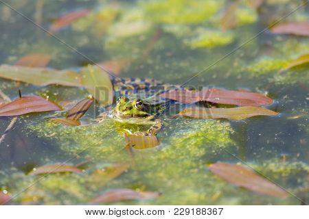 Natural Green Frog Sitting Swimming In Algae Water