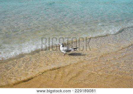 Nature Of Birds, Sea Gull On The Beach Of The Persian Gulf.