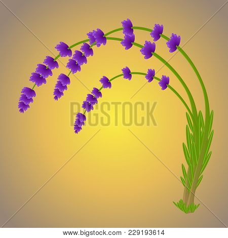 Magic Lavender Branch Purple Color With The Falling Pollen