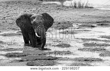 Black & White Image Of A Large African Elephant Enjoying Cooling Off In A Small River In South Luang