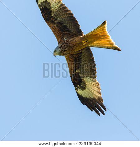 Portrait Natural Red Kite Bird (milvus Milvus) Flying, Blue Sky, Spread Wings