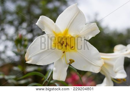In The Flower Garden The Lily Grows White