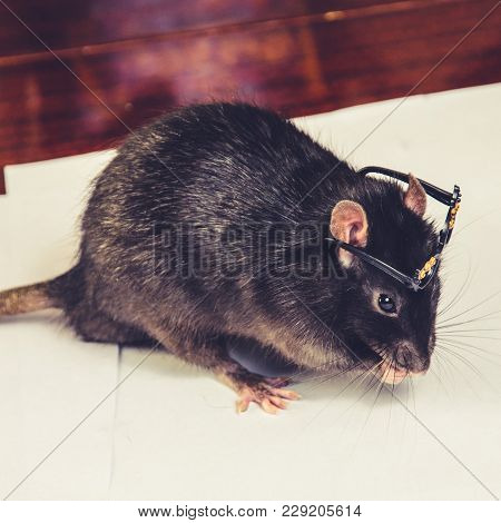 A Funny Gray Rat In Small Glasses.