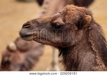 Closeup Portrait Of A Dromedary (camelus Dromedarius)