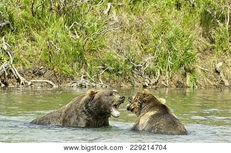 Two Angry Giant Brown Bears Arguing And Showing Their Teeth In A Fight In A River In The Katmai Peni