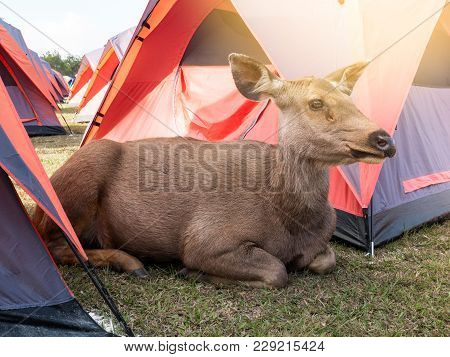 Big brown friendly deer