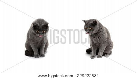 Cat Of Scottish Breed Isolated On White Background. Horizontal Photo.