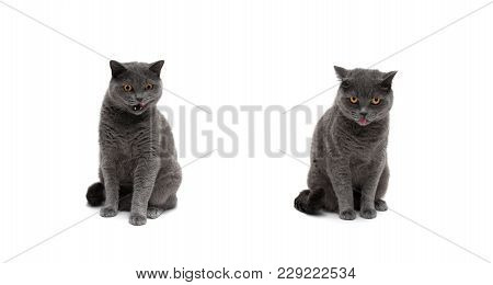 Cat Of Scottish Breed On White Background. Horizontal Photo.
