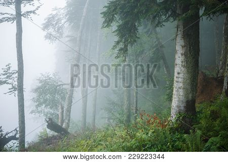Picture Of Foggy Forest With Trees, Plants, Fern In Summer Evening