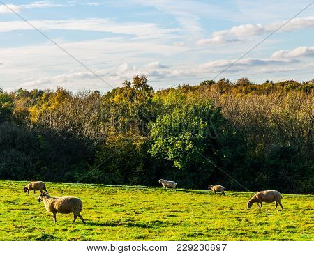English Sheep Grazing In A Meadow, Typical British Green Pasture On A Sunny Day