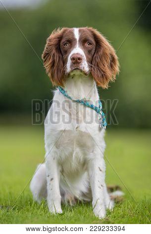 Ft Springer Spaniel Dog