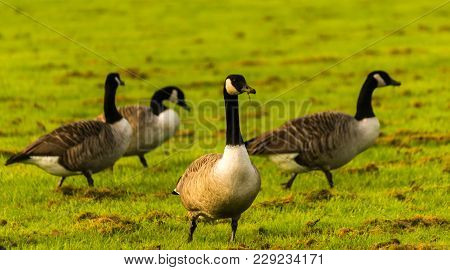 Wild Geese On The Meadow Nibbling The Grass, Green Juicy Grass