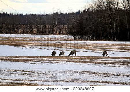 Four White Tail Deer Graze On Farmland In Early Winter.